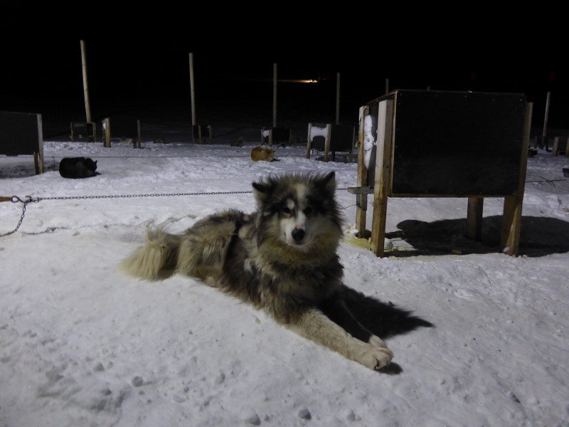 sled dog in the snow in Svalbard